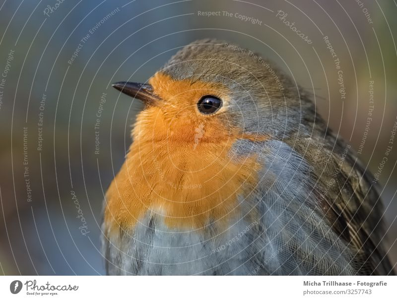 Rotkehlchen Portrait Natur blau grün Sonne Baum Tier schwarz gelb Auge natürlich orange Vogel leuchten glänzend Wildtier Feder