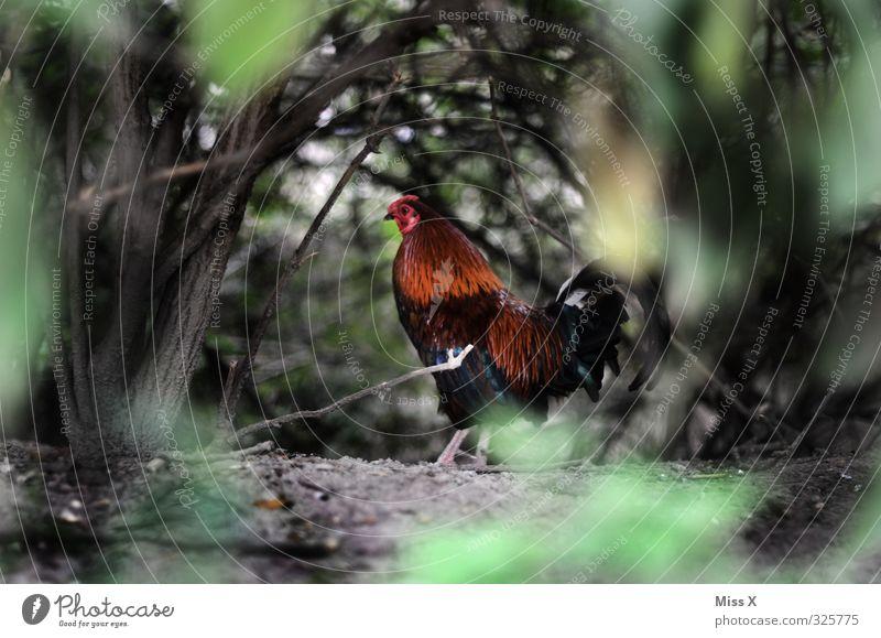 Gockel Fleisch Bioprodukte Tier Nutztier Vogel 1 Stolz stolzieren Hahn Hühnervögel Geflügel Freilandhaltung Landwirtschaft Bauernhof Hühnerstall Hecke