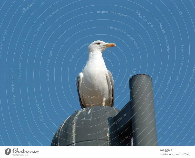 Möwe Meer Luft Vogel Verkehr Pause Laterne Schnabel