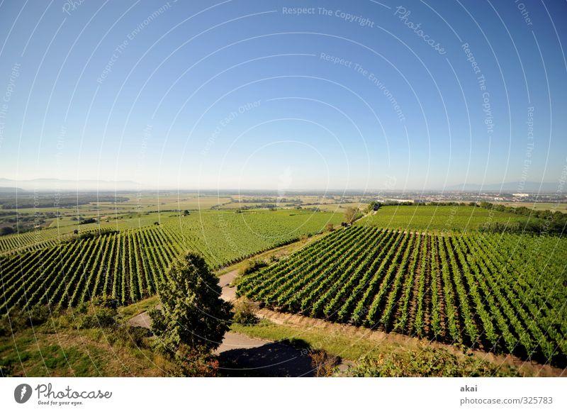 Reblandschaft - Rebanlagen am Tuniberg bei Freiburg mit blauem Himmel Außenaufnahme Blatt Wachstum Landwirt Laubarbeiten Bodenbearbeitung Weintrauben Weinberg