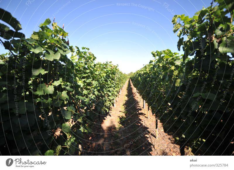 Weinbau - Reben am Kaiserstuhl Weinreben Weinberg Natur Landwirtschaft Weingut Weintrauben Pflanze grün ländlich Blätter Bodenbearbeitung Laub Laubarbeiten