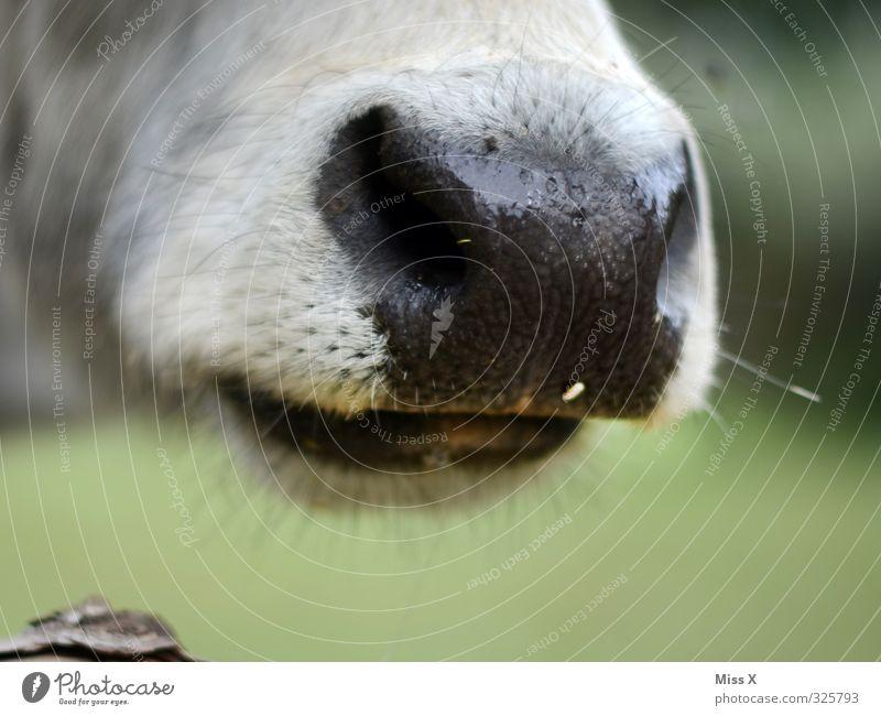 Schnauze ! Tier Nutztier Kuh 1 füttern Kopf Nasenloch Fell Vieh Viehzucht Landwirtschaft Farbfoto Außenaufnahme Nahaufnahme Detailaufnahme Menschenleer