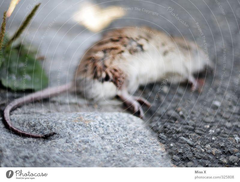 Tote Ratte Tier Wildtier Totes Tier Fell 1 liegen Gefühle Stimmung Tod Vergänglichkeit Schädlinge Rattengift Gift vergiftet töten Mord Rattenschwanz Schwanz