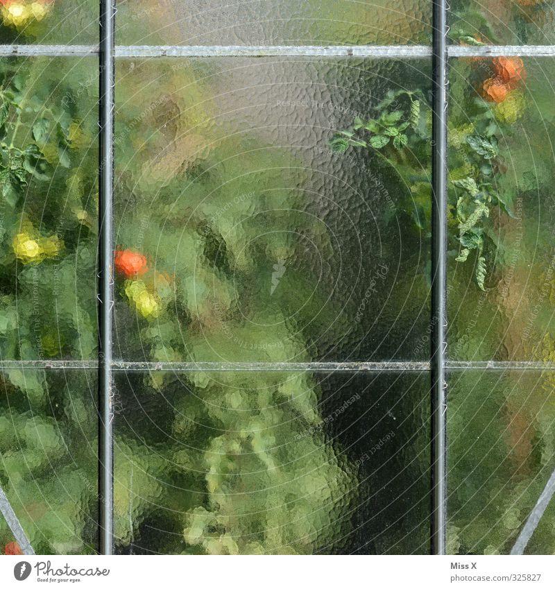 Treibhaus Lebensmittel Gemüse Ernährung Bioprodukte Vegetarische Ernährung Wachstum frisch Gesundheit lecker saftig sauer süß rot Tomate Tomatenplantage