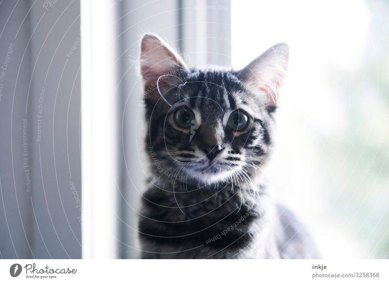 Kindchenschema im Gegenlicht Fenster Haustier Katze Tiergesicht Maine-Coon 1 Tierjunges Blick authentisch klein nerdig niedlich Kindheit groß Farbfoto