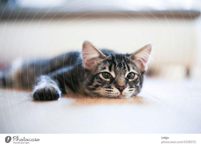 Katzenkind beim Rumliegen Erholung Tier Tierjunges Häusliches Leben Wohnung hell authentisch niedlich Bodenbelag Tiergesicht
