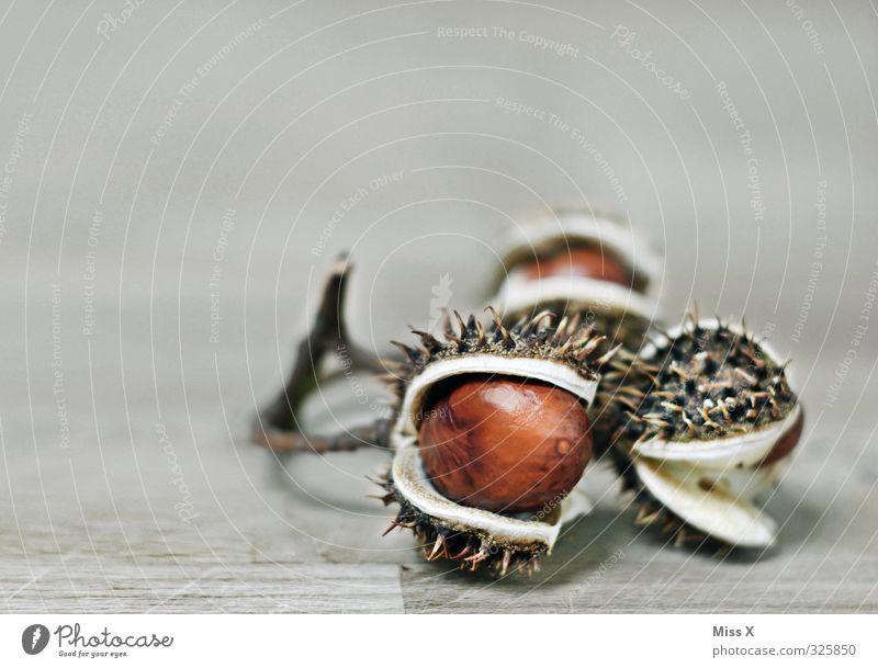 Kastanie Frucht Herbst stachelig Zweig Stachel reif Farbfoto Nahaufnahme Menschenleer Textfreiraum links Textfreiraum oben Freisteller Hintergrund neutral