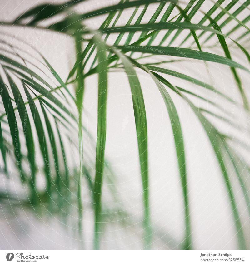 Zimmerpflanze Pflanze ästhetisch Zufriedenheit Palme Innenaufnahme weiß grün Muster Strukturen & Formen Hintergrundbild Unschärfe Tilt-Shift Experiment Blatt
