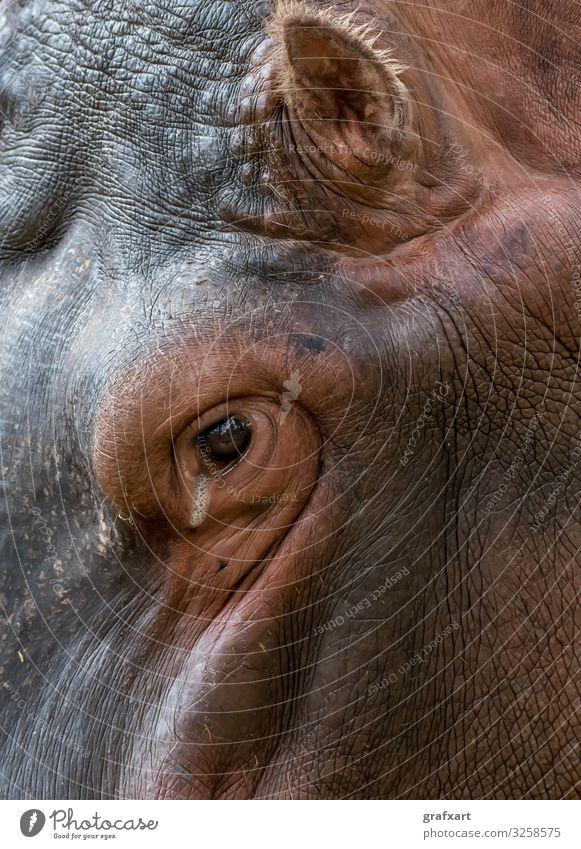 Kopf eines Nilpferds mit faltiger Haut adult afrikanisch alter tier tierschutz aquatisch hintergrund schön biodiversität bulle ruhig gefahr gefährlich detail