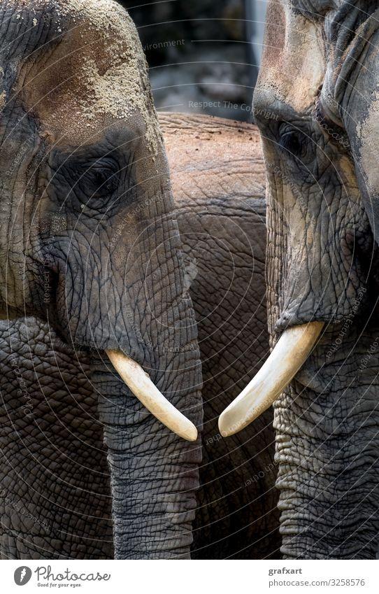 Afrikanische Elefanten Kopf an Kopf Natur alt Tier sprechen Umwelt Liebe Gefühle Familie & Verwandtschaft Zusammensein Tierpaar Wildtier gefährlich groß