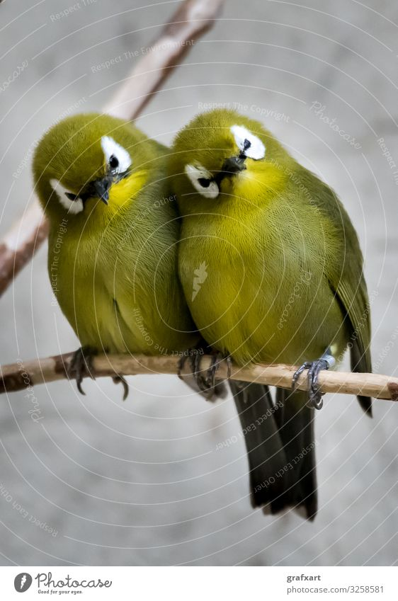 Zwei kleine grüne Vögel sitzen auf Ast nahe beisammen tier tierschutz artenschutz aufmerksam schnabel biodiversität vögel vogel zweig pause nähe nahaufnahme