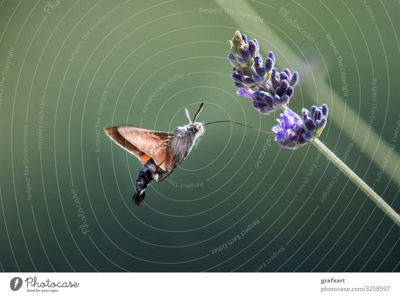 Taubenschwänzchen Schmetterling trinkt Nektar auf Blüte beweglichkeit tier tierschutz biodiversität blüte blühen schmetterling nahaufnahme macro detail trinken