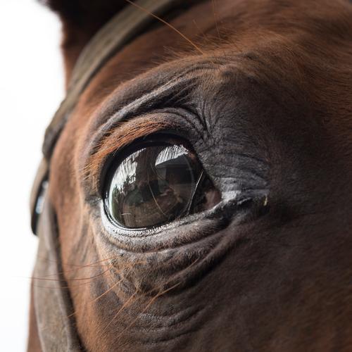 Ein braunes Pferdeauge schaut ängstlich in die Kamera Auge Tier Blick Tierporträt Blick in die Kamera Nutztier Detailaufnahme Natur Angst