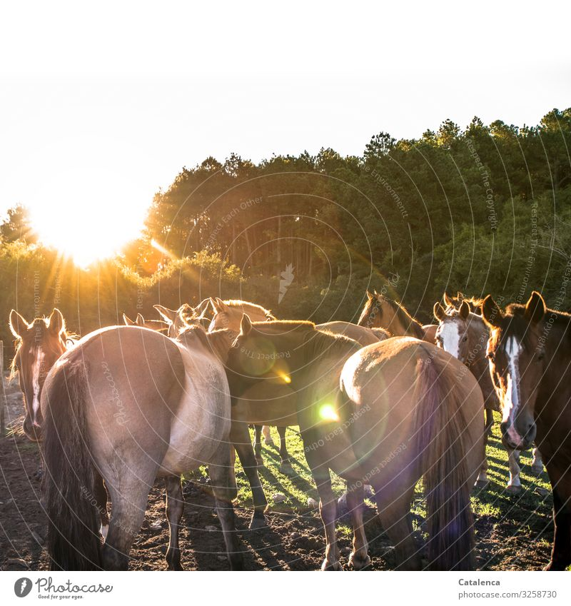 Pferdekoppel Natur Pflanze Tier Himmel Sonne Sommer Schönes Wetter Baum Gras Weide Nutztier Tiergruppe beobachten stehen schön braun gold grün Stimmung