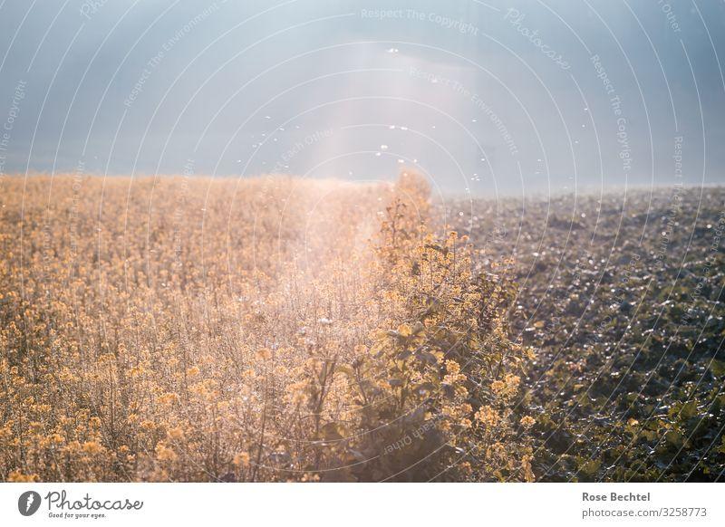 Senfkraut im Gegenlicht Lebensmittel Kräuter & Gewürze Feld Blühend fliegen leuchten Wachstum Gesundheit blau gelb Bewegung Zufriedenheit Horizont Leichtigkeit