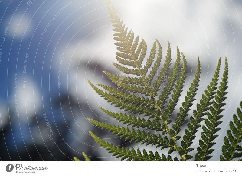 Pflanze | im Gegenlicht Natur Himmel Schönes Wetter Farn blau grün weiß filigran Farbfoto Außenaufnahme Nahaufnahme Menschenleer Textfreiraum links Tag Kontrast