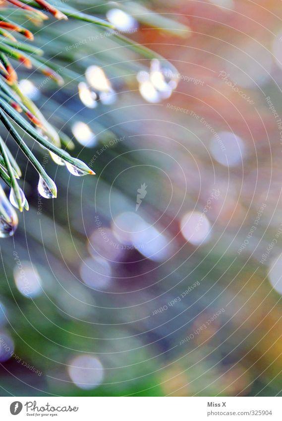 Morgentau Wassertropfen Gras Blatt nass Stimmung Beginn Tau frisch Unschärfe Punkt Tropfen Tannennadel Farbfoto Außenaufnahme Nahaufnahme Makroaufnahme