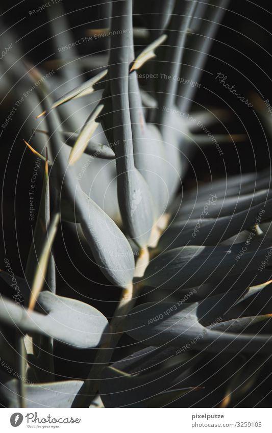 Spitz Natur Pflanze Blatt exotisch dunkel Spitze Ast stachelig Detailaufnahme Stachel Farbfoto Makroaufnahme Menschenleer Starke Tiefenschärfe