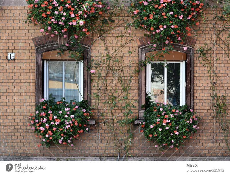 Fassade alt Blume Haus Fenster Wohnung Häusliches Leben Wachstum Blühend Backstein hängen Renovieren Altstadt Ranke bewachsen Fensterbrett