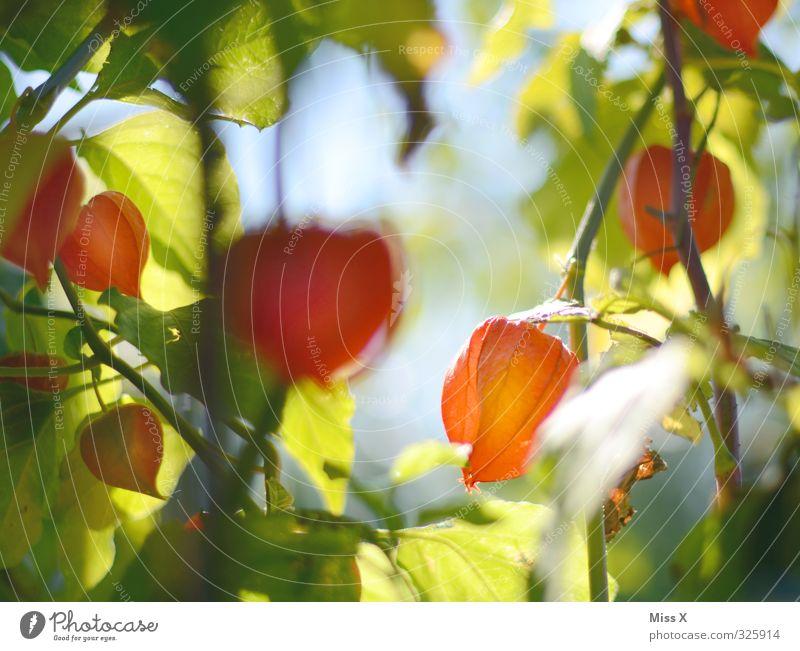 Physalis Natur Pflanze rot Blume Blüte Garten Lebensmittel Frucht Ernährung süß lecker leuchtende Farben Lampionblume