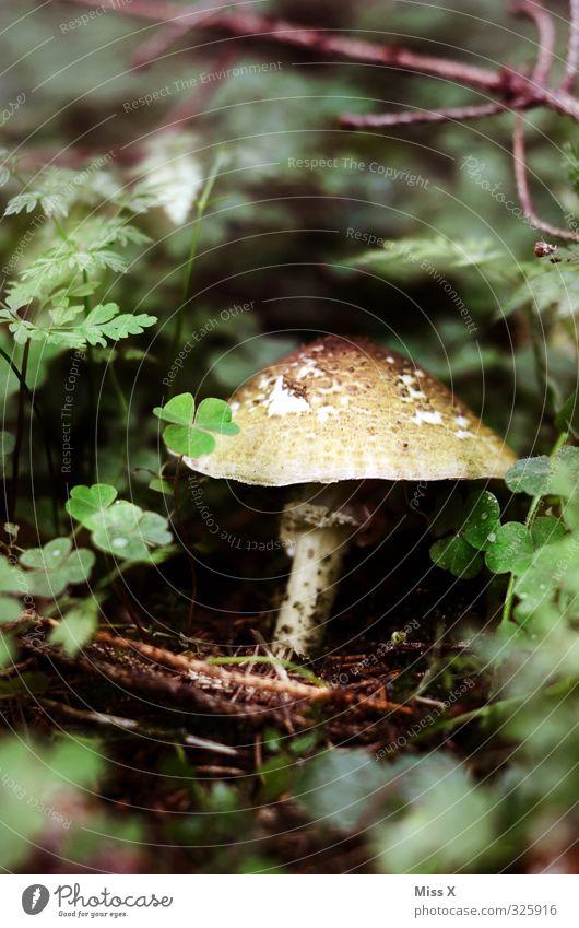Pilz Lebensmittel Ernährung Bioprodukte Herbst Wald Wachstum Sammlung Pilzhut Pilzsucher Champignons Waldboden essbar Farbfoto Außenaufnahme Nahaufnahme