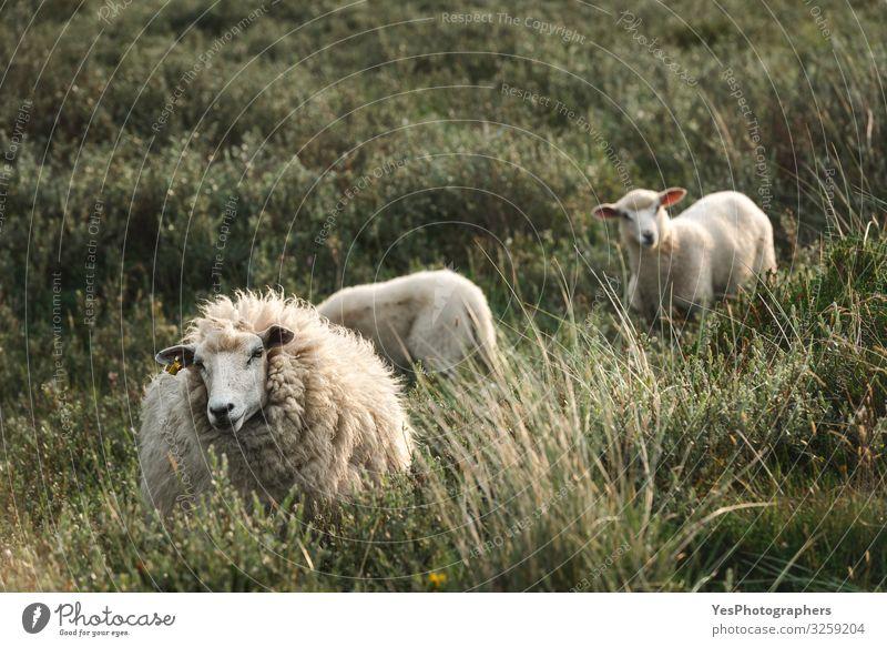 Weiße Schafe und Lämmer im hohen Gras auf der Sylter Insel Nordhof Nordsee Tier Tierfamilie Fressen stehen niedlich Friesland Deutschland Schleswig-Holstein
