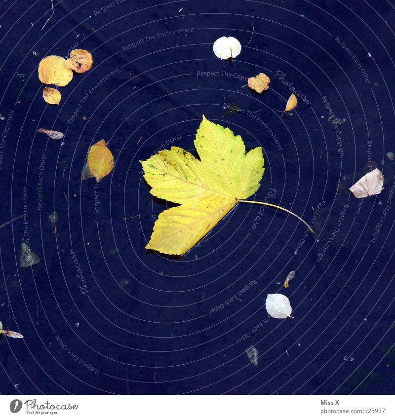 Herbst Wasser Blatt Teich See blau gelb fallen herbstlich Herbstlaub Herbstbeginn Ahornblatt Im Wasser treiben Farbfoto mehrfarbig Außenaufnahme Menschenleer