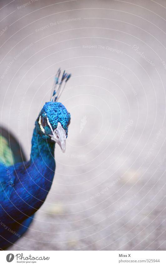 Schau an Tier Vogel 1 Neugier Gefühle Stolz eitel Pfau Schnabel Farbfoto mehrfarbig Außenaufnahme Menschenleer Textfreiraum rechts Textfreiraum oben