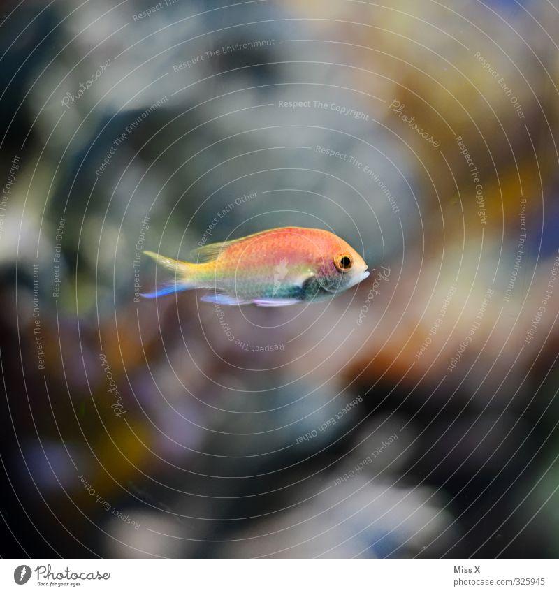 Fisch Riff Korallenriff Meer Tier Aquarium 1 Schwimmen & Baden tauchen Farbfoto mehrfarbig Unterwasseraufnahme Menschenleer Textfreiraum links