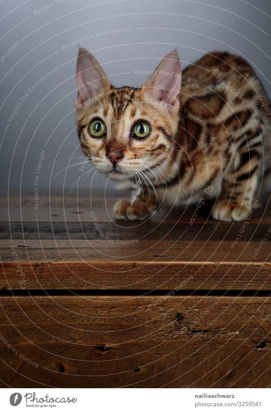 Bengal Katze Lifestyle Wärme Tier Haustier Tiergesicht bengal Katze bengalische Katze 1 Tierjunges Tisch Holztisch beobachten liegen Blick warten frech Neugier