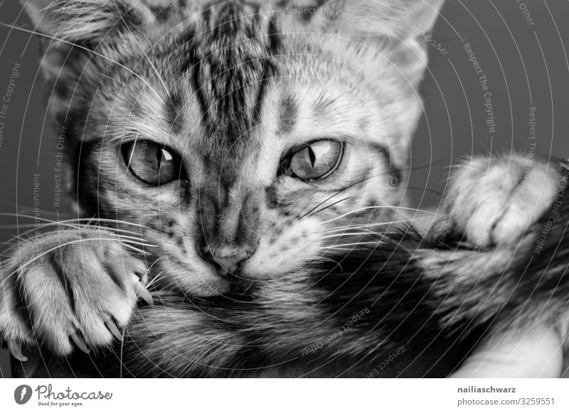 Bengal Katze Tier Haustier Tiergesicht Krallen Pfote bengalische Katze 1 beobachten Blick Spielen warten Aggression frech kuschlig Neugier niedlich schön wild