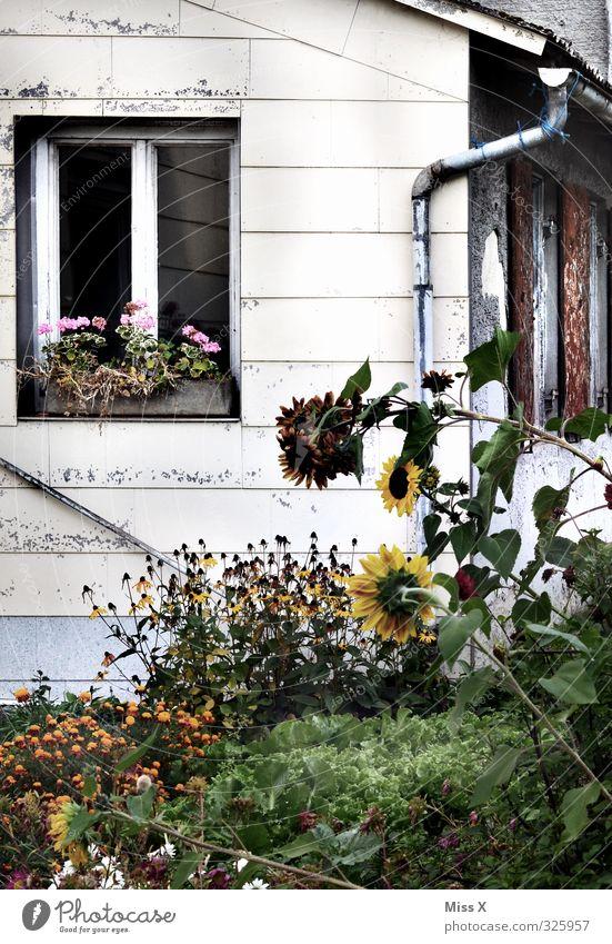 Fensterchen I Häusliches Leben Wohnung Garten Blume Stadtrand alt bewachsen Bauerngarten Bauernhof Sonnenblume Farbfoto Außenaufnahme Menschenleer