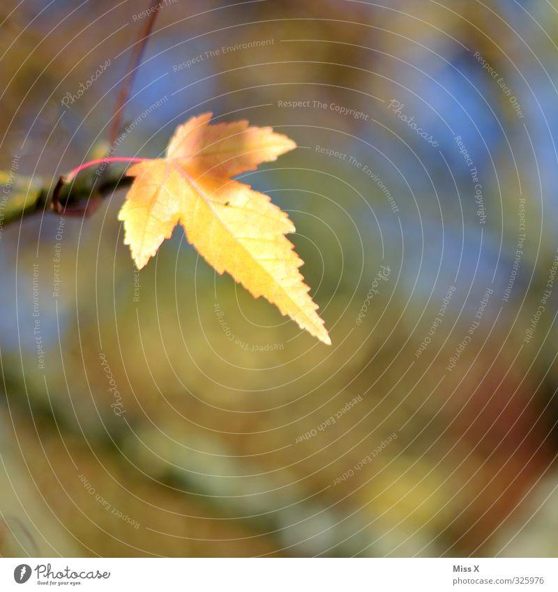 Herbst Blatt dehydrieren gelb Herbstlaub herbstlich Herbstfärbung Herbstbeginn Ast Zweig Sonnenlicht mehrfarbig Außenaufnahme Nahaufnahme Menschenleer