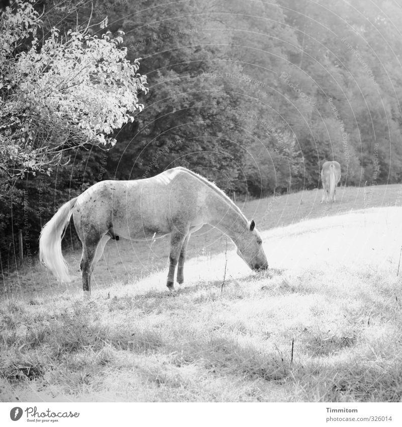 schwarzweißgrau | hornloses Einhorn. Ausflug Umwelt Natur Pflanze Baum Gras Wiese Wald Tier Pferd 2 Fressen einfach natürlich Gefühle Penis Schwarzweißfoto