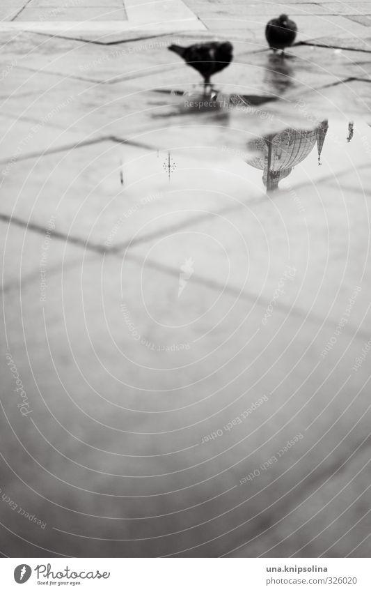 tauben. kuppel. focus. Wasser Regen Platz Straße Vogel Taube 2 Tier stehen kalt trist Bodenplatten Pfütze Schwarzweißfoto Außenaufnahme Menschenleer