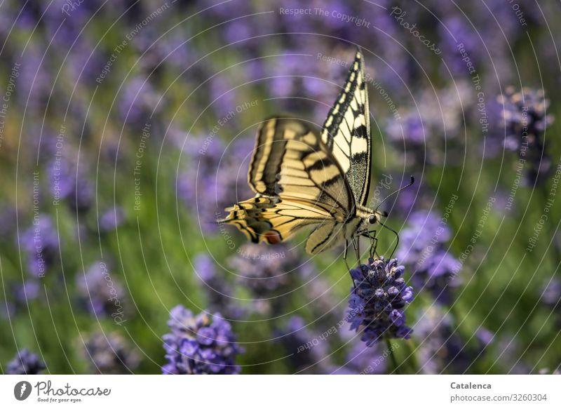 Schwalbenschwanz auf einer Lavendelblüte Natur Fauna Flora Tier Schmetterling Pflanze Blüte blühen duften verblühen Garten Tag Tagelicht Grün Gelb Lila