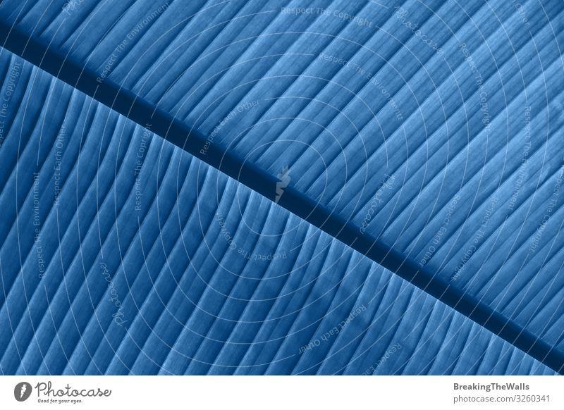Hintergrundtextur der blau getönten Palmblattadern Umwelt Natur Pflanze Baum Blatt Grünpflanze exotisch frisch hell Farbe Venen Konsistenz extrem farbenfroh