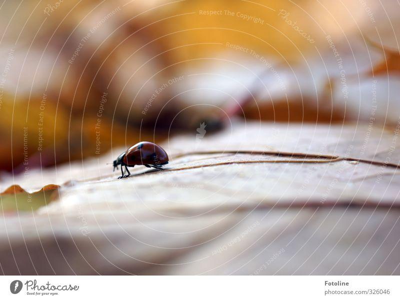 Herbstwanderung Umwelt Natur Pflanze Tier Blatt Park Wald Wildtier Käfer 1 frei klein natürlich braun Marienkäfer Herbstlaub Farbfoto mehrfarbig Außenaufnahme