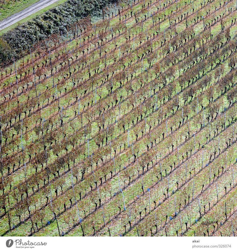 Rebgelände am Tuniberg bei Freiburg Feld Landwirt Landwirtschaft Wein Weinreben Weinbau Weinberg Reben Natur Außenaufnahme Wachstum Weingut ländlich Arbeit