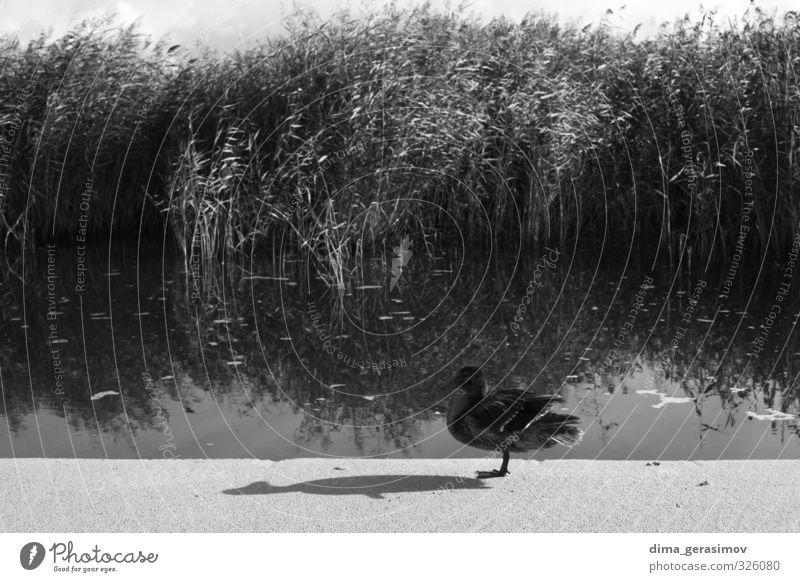 Ente Nutztier Wildtier 1 Tier Wahrheit Angst Farbfoto Außenaufnahme Schatten Kontrast Silhouette