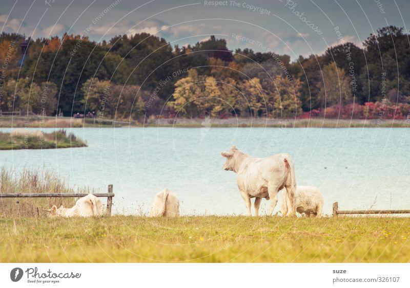 Pech für die Kuh Elsa | Kein Blick zurück Himmel Natur Sommer Landschaft Tier Wald Umwelt Wiese See natürlich Idylle Tiergruppe Seeufer Weide Sehnsucht Zaun