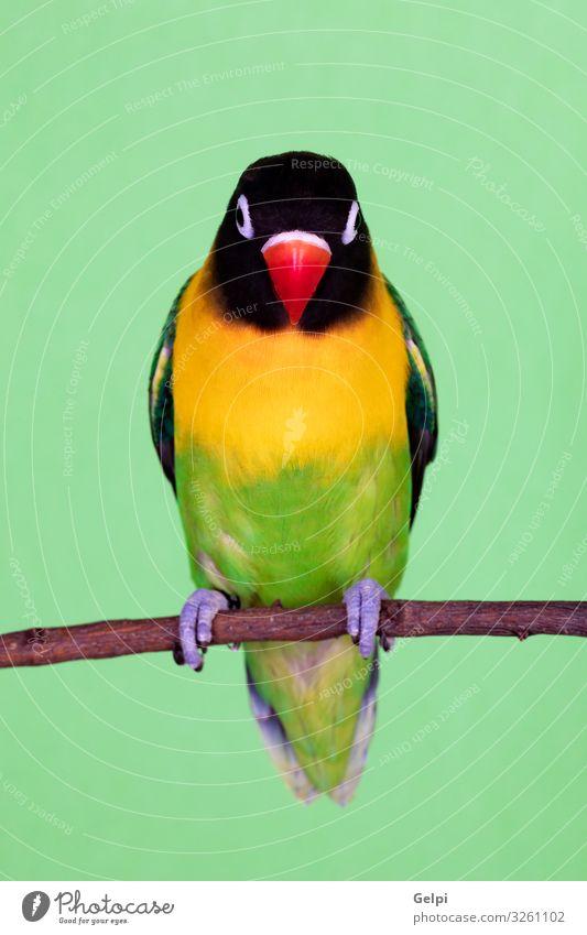 Schöner Liebesvogel auf einem Ast exotisch Glück schön Sommer Sonne Mensch Zoo Natur Tier Haustier Vogel Freundlichkeit klein lustig gelb grün Appetit & Hunger