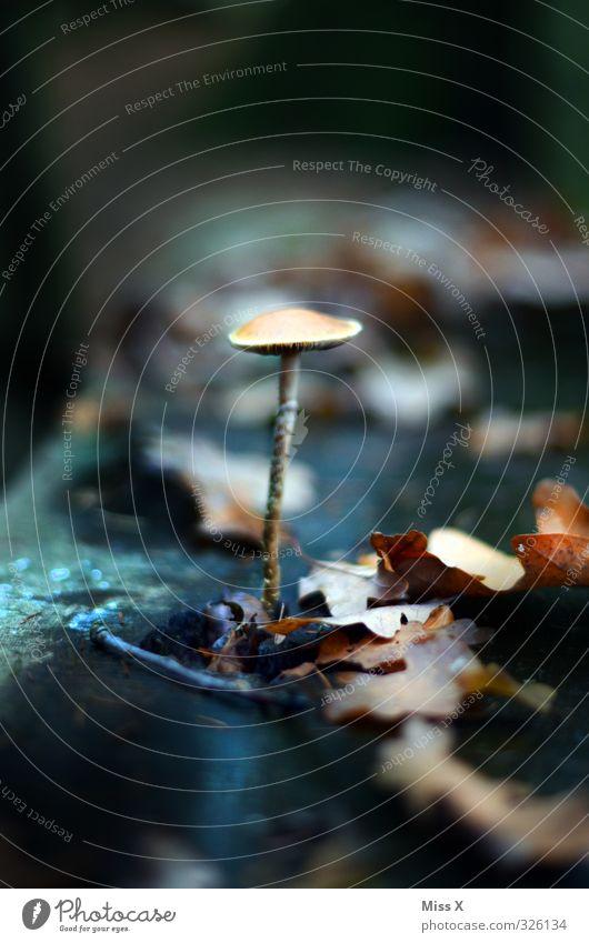 Pilz Lebensmittel Ernährung Natur Pflanze Herbst Wald Wachstum dunkel Stengel Blatt Herbstlaub herbstlich Gift Farbfoto Außenaufnahme Nahaufnahme Menschenleer