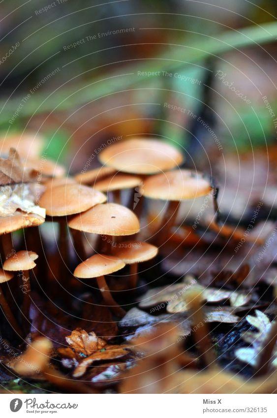 Pilze Lebensmittel Pflanze Herbst Wald Wachstum Waldboden Herbstlaub Herbstbeginn Hallimasch Farbfoto Außenaufnahme Nahaufnahme Menschenleer Textfreiraum oben