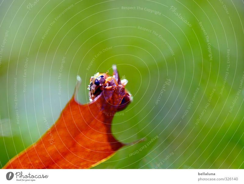 Punktlandung Tier Wildtier Käfer 1 krabbeln sitzen braun grün rot schwarz Marienkäfer Farbfoto mehrfarbig Außenaufnahme Nahaufnahme Detailaufnahme Makroaufnahme