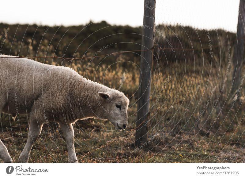 Lamm, das den Bauernhofzaun überquert. Nordweiße Schafe auf der Insel Sylt Sommer Ostern Gras Moos Nordsee Nutztier 1 Tier Tierjunges niedlich Abenteuer