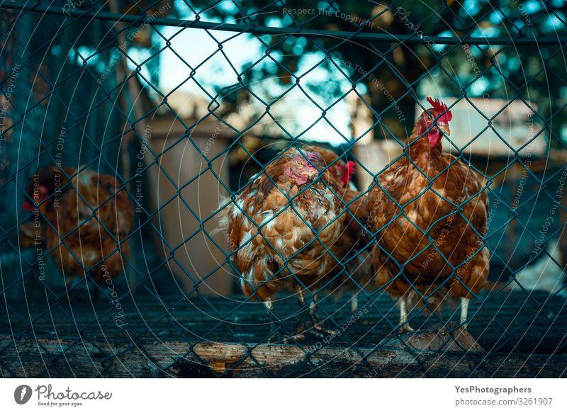 Rote Hühner hinter einem Zaun. Mausernde Hühner auf einem deutschen Bauernhof Tier Nutztier Vogel Tiergruppe trist braun Gefühle Stimmung Sicherheit Stress