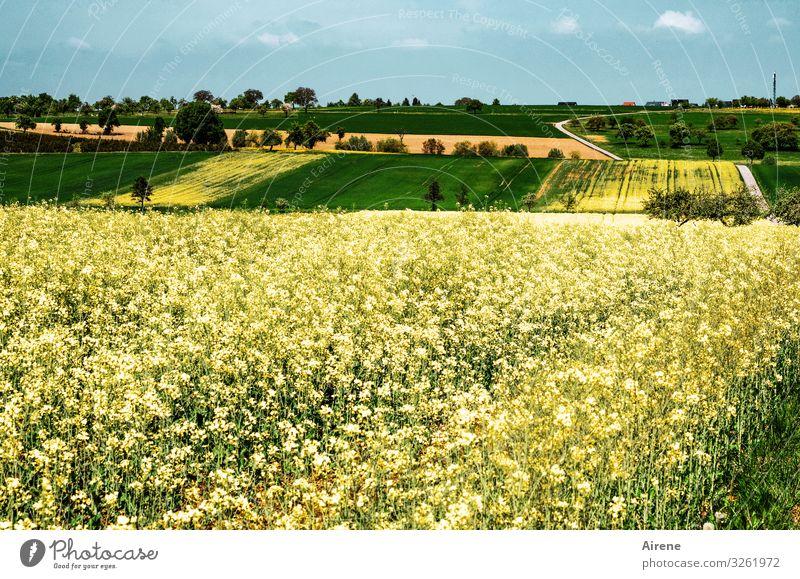 Raps auf landwirtschaftlicher Nutzfläche im Heckengäu Ferne gelb Totale grün Ebene Weitwinkel Panorama (Aussicht) weitläufig fleißig Wachstum Rapsfeld