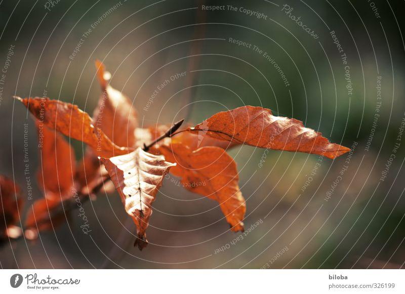 Blattwerk grün Baum Blatt Winter Wald Senior Herbst braun nass Vergänglichkeit Buche Buchenwald Buchenblatt