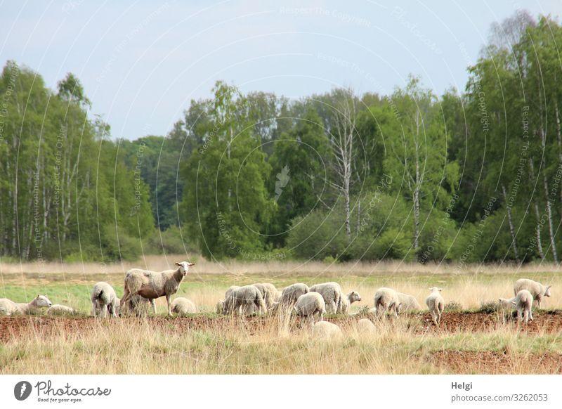 Schafe auf Futtersuche in einer Moorlandschaft Umwelt Natur Landschaft Pflanze Tier Wolkenloser Himmel Frühling Schönes Wetter Baum Sumpf Nutztier Schafherde